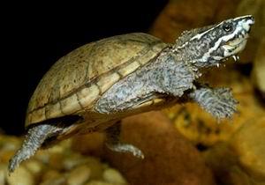 麝香/条颈小麝香龟(虎纹麝香龟)Sternotherus peltifer