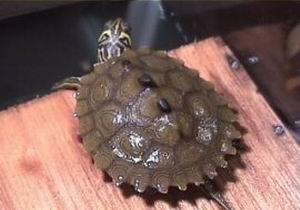地图龟/密西西比地图龟Graptemys koknii